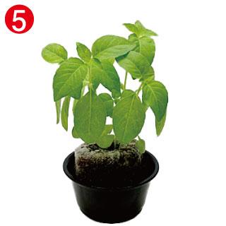 種まきから約28日程度で植替え時期