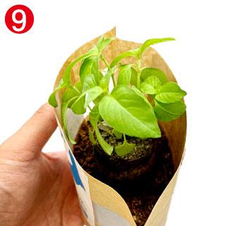 培土の上に育てた苗を置きます